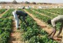 Conquête du marché des fraises : Les producteurs sénégalaisambitionnent de faire du Sénégal le 2ème exportateur africain d'ici 5 ans